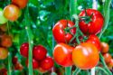 Organic Tomatoes Accumulate More Vitamin C, Sugars Than Conventionally Grown Fruit